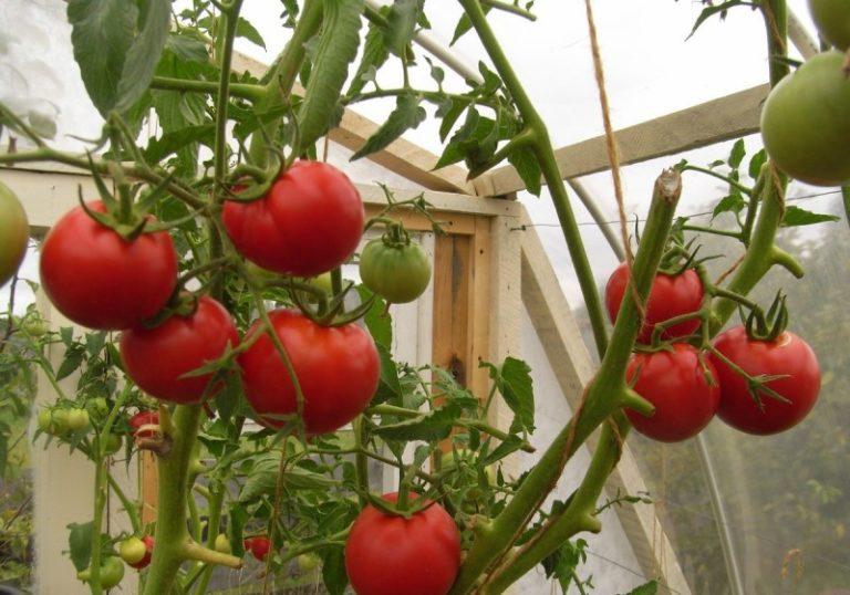 Томатные овощи можно классифицировать по различным показателям, но количество конечного продукта для любого дачника - наиболее ценный параметр