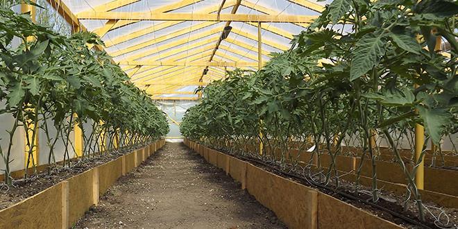 Узкая посадка используется на открытом огороде, а для теплиц и парников используются ящики-гряды