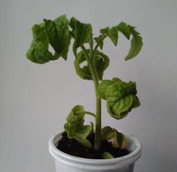 Скрученные верхушки препятствуют полноценному фотосинтезу