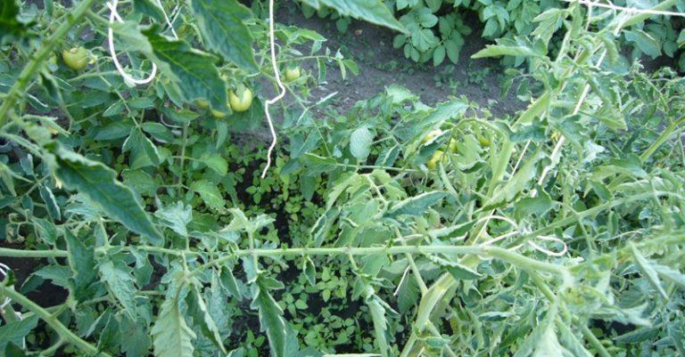 Часто владельцы домашних огородов замечают проблему, выращивая помидоры: закручиваются верхние листья у растений