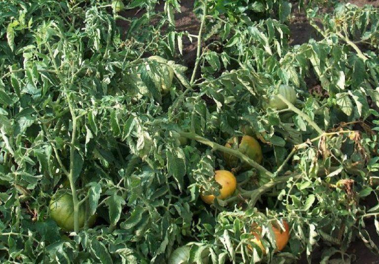 Томаты не любят сильную жару. Если температура в парнике или на улице превышает +34...+35°С, листья у помидоров скручиваются в трубочку