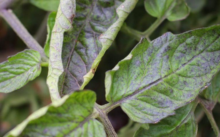 Недостаточное содержание в почве питательных микроэлементов приведет к закручиванию и изменению цвета листьев у помидоров