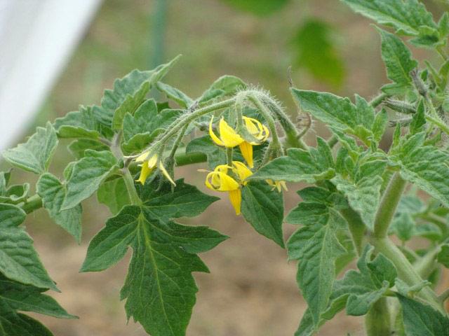 Если же выращивание томатов в теплице происходит зимой или ранней весной, то опыление нужно производить самостоятельно