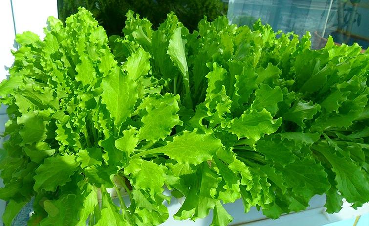 Выращивание зелени в домашних условиях для некоторых видов зелени имеет свои особенности
