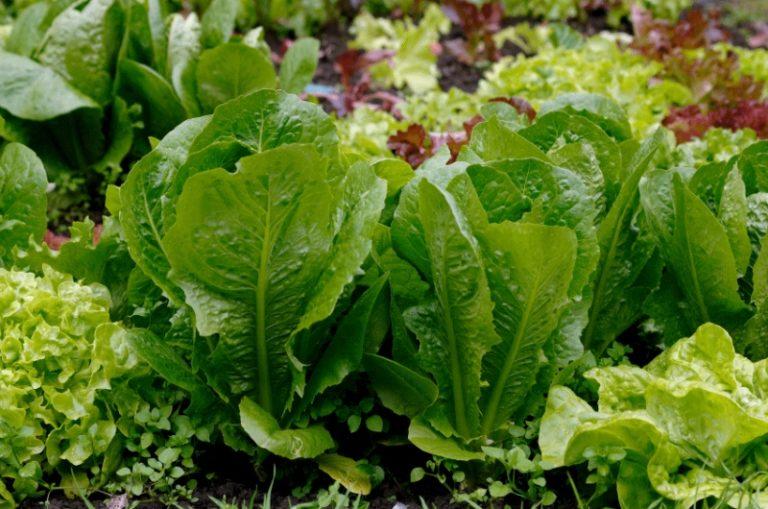 Листовой салат богат витаминами К, РР, Е, В, калием, железом, йодом