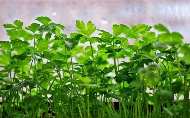 Петрушку с укропом предварительно на сутки нужно замочить для выхода эфирных масел, далее заглубить в грунт до 1 см, выдержать емкости в темном месте, пока не проклюнутся первые ростки, полив растений должен быть ежедневным