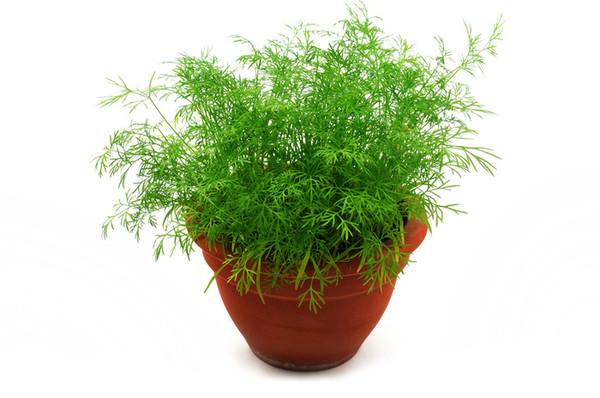 Выращиваем зелень на подоконнике быстро и просто