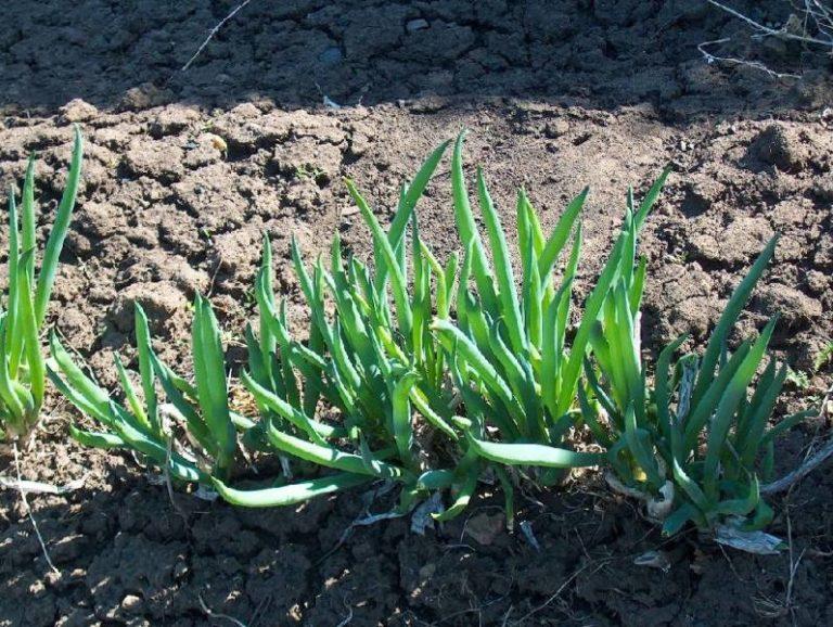 Лук-шалот и шнитт-лук — самые подходящие сорта для огородников, желающих получать регулярно большой урожай зелени