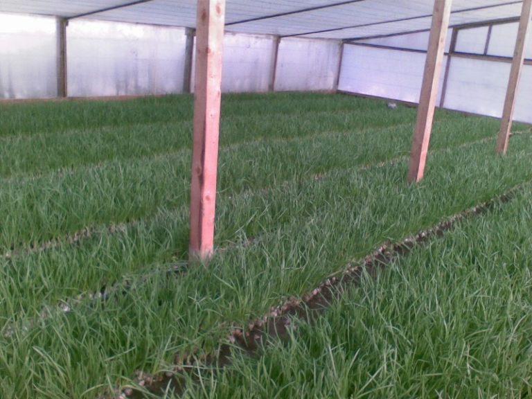 Наиболее популярной считается технология выращивания лука на перо из семян в теплицах