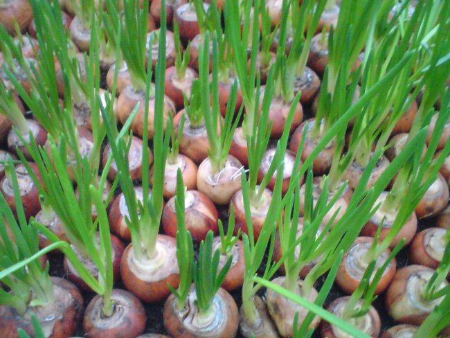 Выращивая зимой овощ, не забывайте об освещении