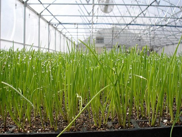 Выращивание и уход за луком в теплице зимой или летом и в открытом грунте мало различается