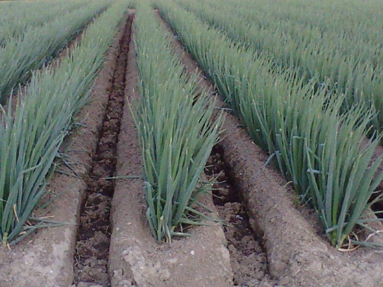 Агротехника выращивания зеленого лука имеет свою специфику и особенности
