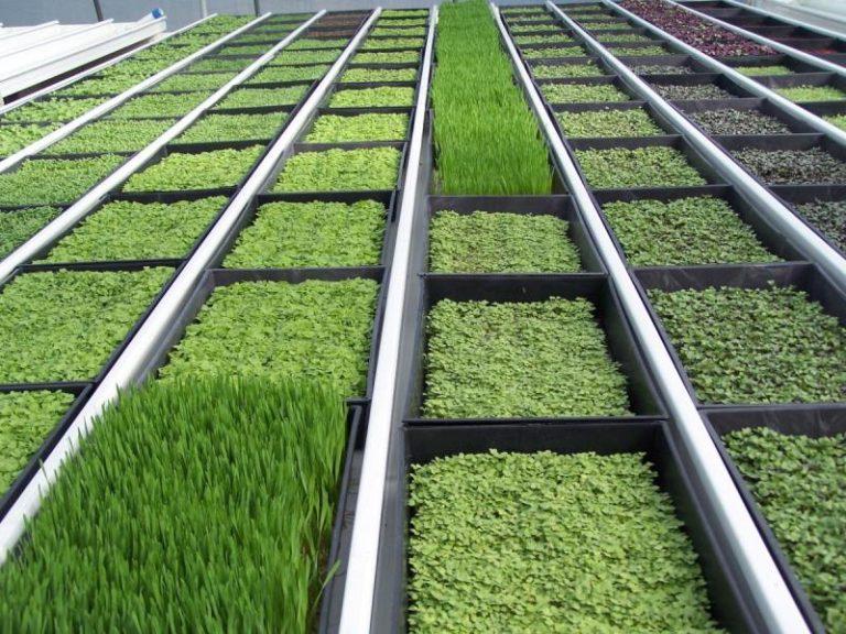 При выгонке зеленого лука стоит учитывать, что на зелень растение тратит значительное количество азота, поэтому проведение подкормки хоть при наличии гидропоники, хоть при выращивании в открытом грунте