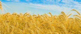 Колоски пшеницы в июле