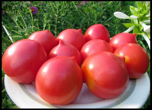 буденовка помидоры фото