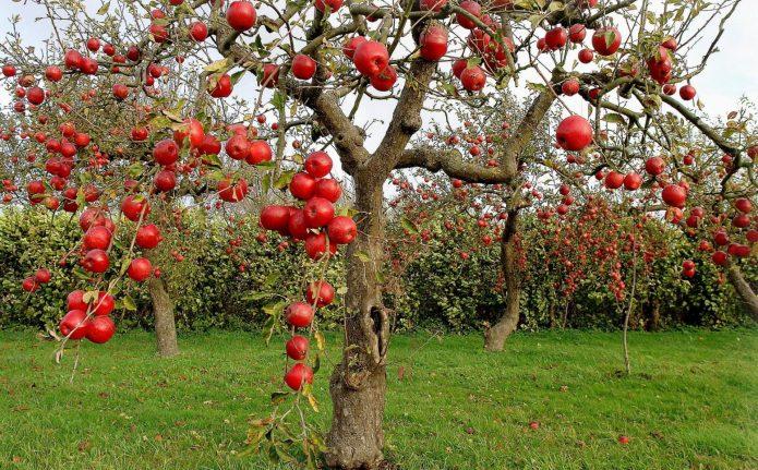 Соседство яблони и ежевики