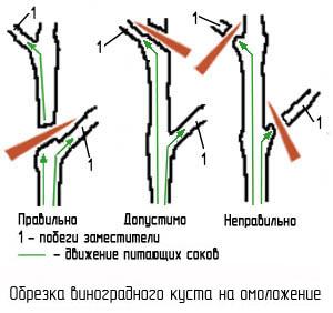Как обрезать виноград весной при омолаживающей обрезке