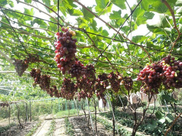 Красный виноград на арке
