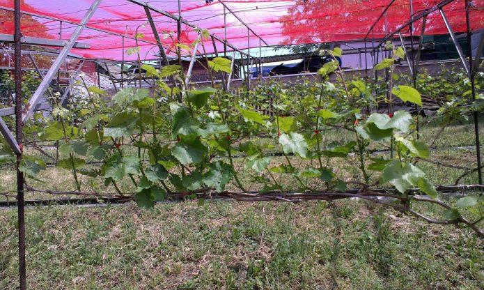 Молодой виноград на шпалере весной