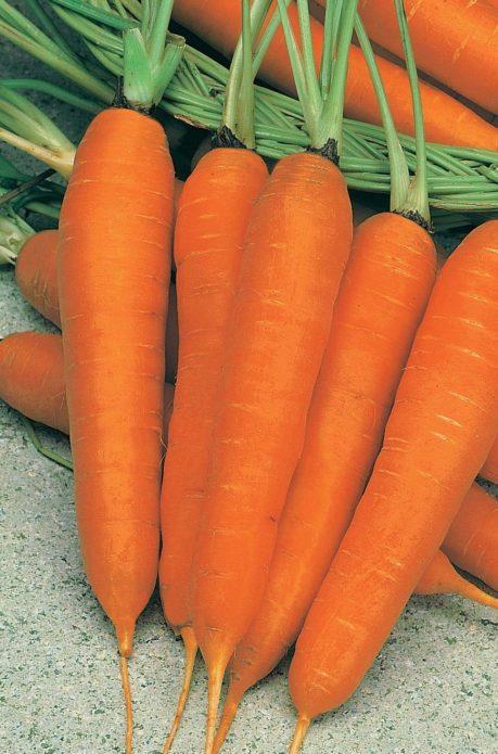 Морковь Баядера
