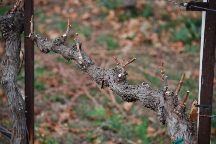 Обрезка винограда осенью на шпалере