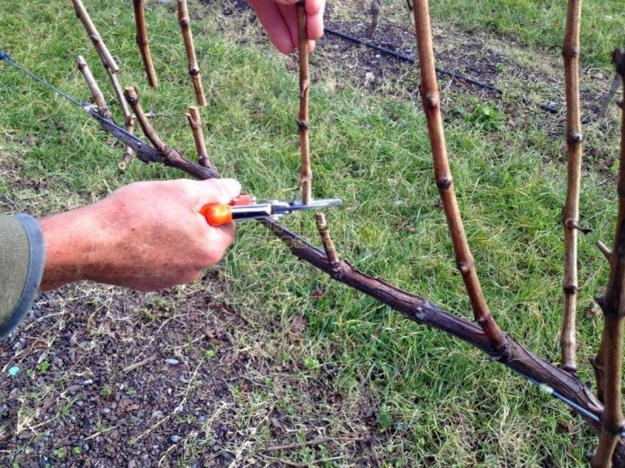 Обрезка винограда весной секатором