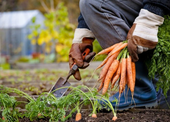 Сбор ранней моркови