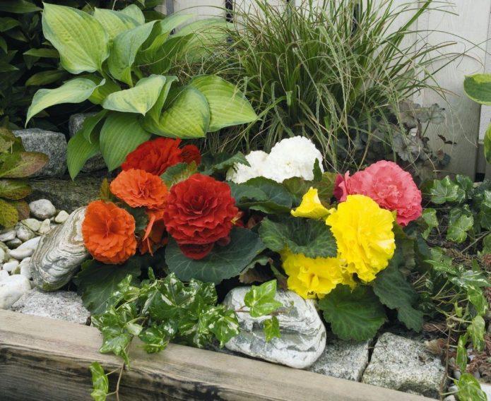 Разноцветные бегонии в каменном саду