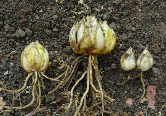 Луковицы и детки лилий