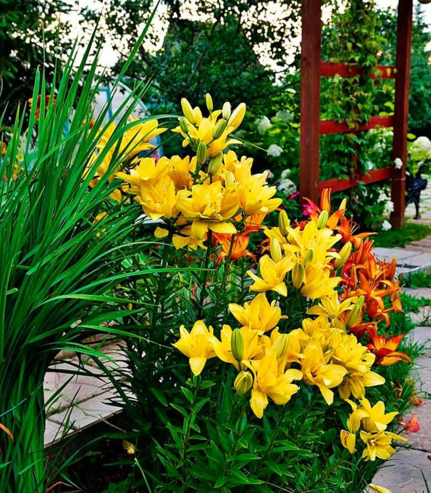 Цветущие желтые и оранжевые лилии