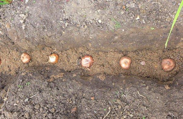 Пересадка луковиц лилий на другое место