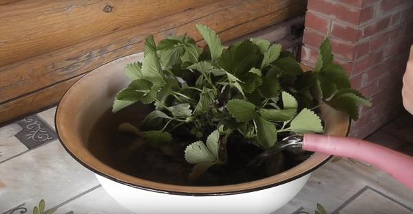 Промывание корней саженцев клубники