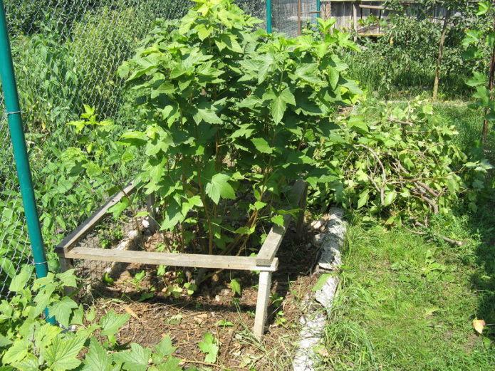 посадка кустов смородины