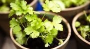 Як виростити зелень будинку
