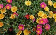 Цветы портулак
