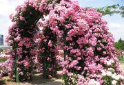 Роза плетистая