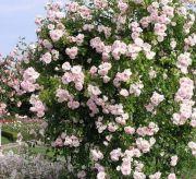 Плетистые розы уход и выращивание