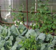 Шпалера для огірків у відкритому грунті фото