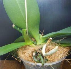 Как отделить детку орхидеи фаленопсис видео