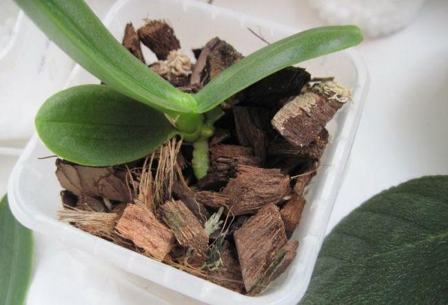 Поливать пересаженное растение разрешается только через 2-3 дня