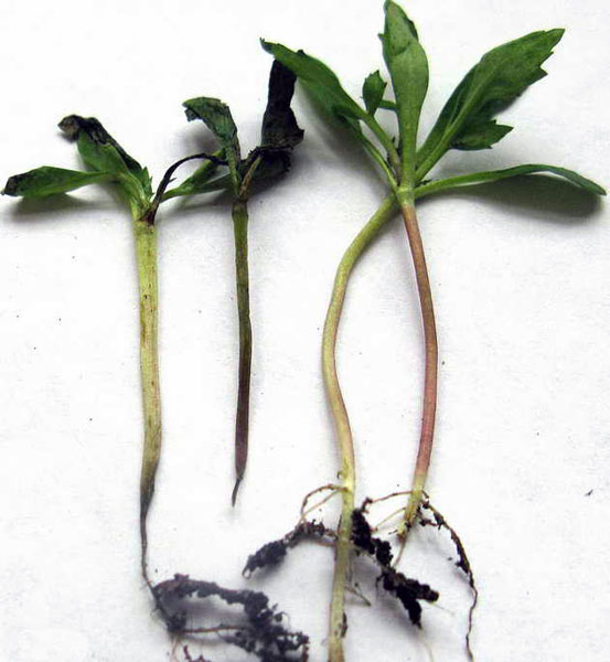 Многие огородники теряются, когда вдруг появляется черная ножка у рассады томатов не знают, что делать