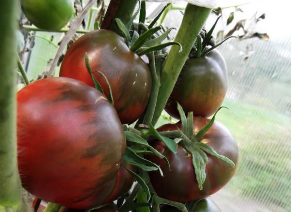 Кусты этого растения довольно высокие, поэтому стебли и кисти необходимо подвязывать, чтобы побеги не ломались под тяжестью помидоров