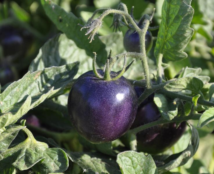 Для некоторых сортов фиолетовый цвет плода – нормальное явление
