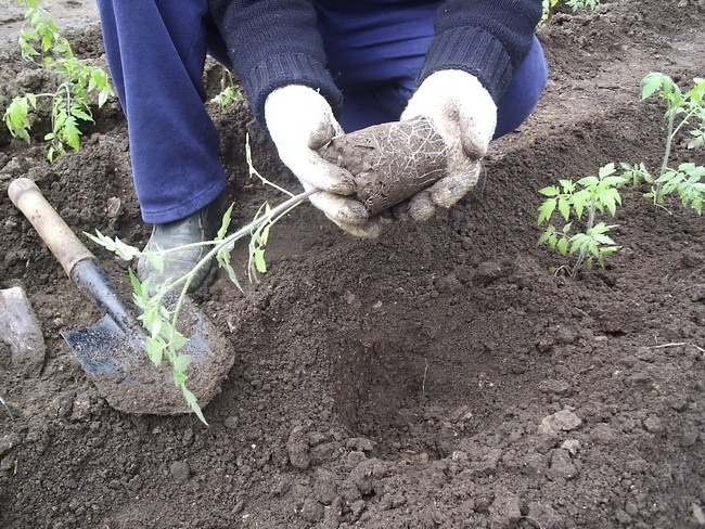 Благоприятные дни для посадки любых надземных растений — это фазы растущей луны