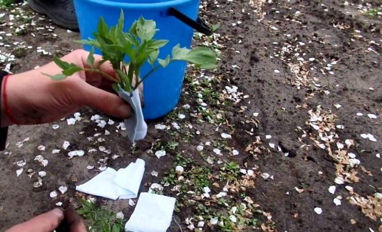Закаливание - важнейшая процедура, которая поможет растению выдержать любую температуру