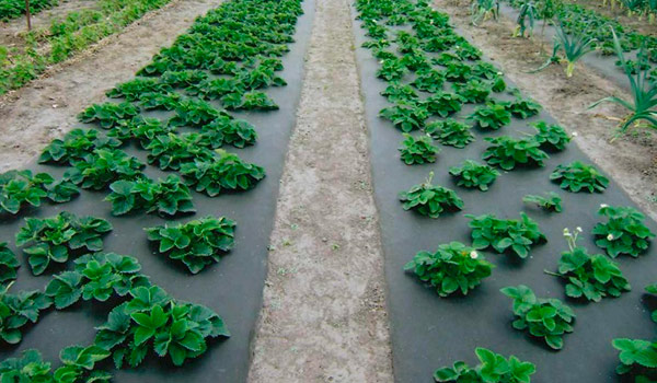 Важным моментом, который следует учитывать для получения качественного урожая клубники и земляники, являются характеристики почвы