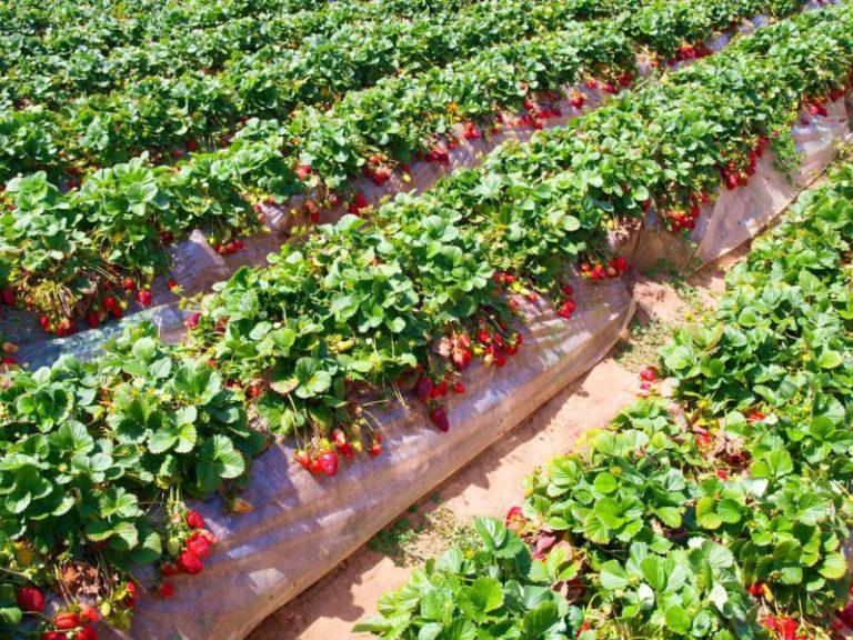 Для получения качественного урожая клубники следует внимательно отнестись к здоровью растений