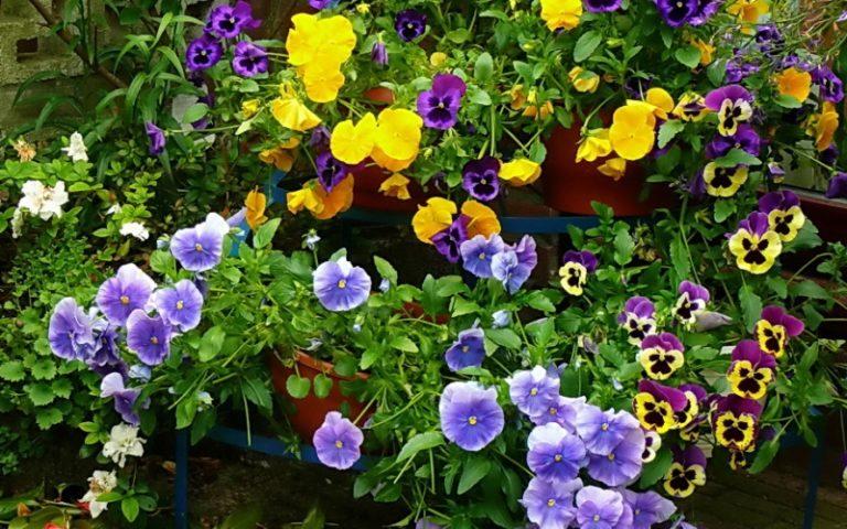 Многие садоводы поддерживают выращивание анютиных глазок, ведь нежность этих цветов сложно не заметить