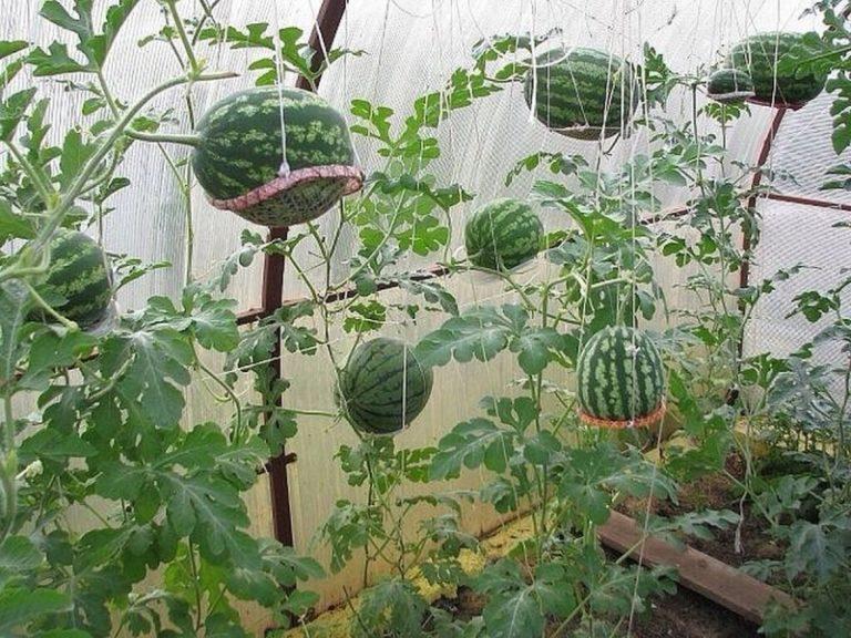 Выращивание арбуза в теплице решает многие проблемы, но порождает при этом и новые хлопоты