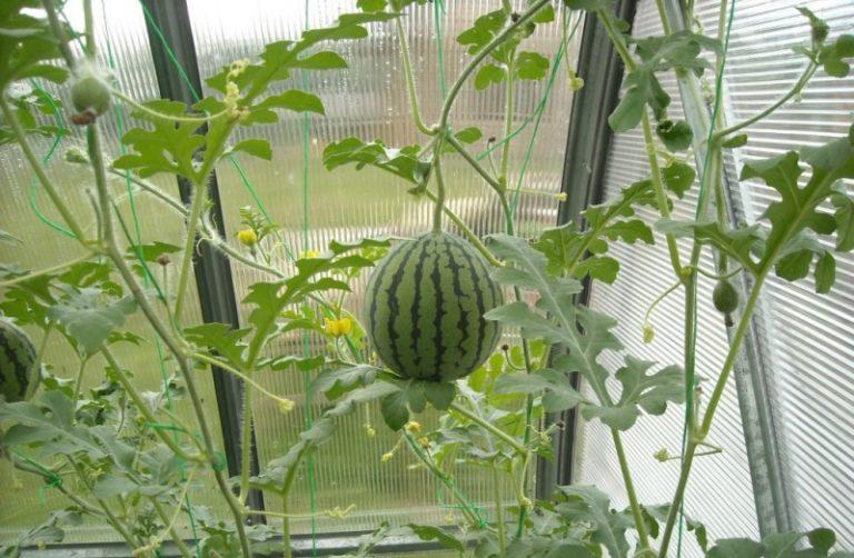белье для выращивание арбузов в теплице комплекты